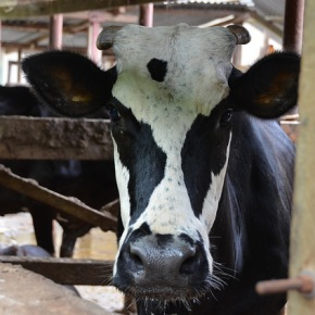 Animal genetics project to review and improve Tanzania's dairy herd for higher milk yields