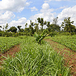 Kenyan livestock farmers reap benefits of climate-smart Brachiaria grasses