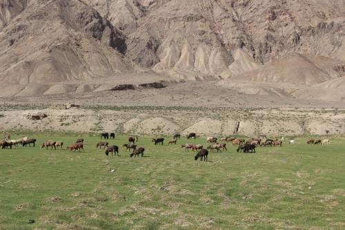 Sheep_KarakoramHighway_XinjiangProvince_SilkRoad-China_ByHanJianlin