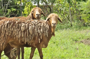 Injection of new genetics funding to boost the health and productivity of Africa's farmanimals