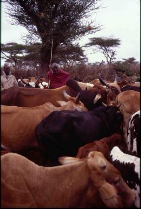 New USD18 million program to modernize livestock breeding in EastAfrica