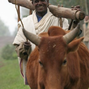 DID YOU MISS IT? Who's developing African cattle resistant to sleeping sickness—and why it matters—by Tamar Haspel