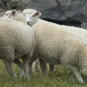 New Zealand contemplates 'fart tax' to reduce sheep emissions of greenhouse gases