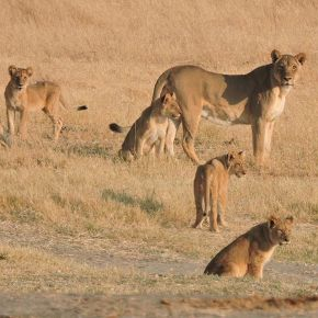 Lions and people and livestock ('Oh, my!'): New research shows they can coexist within community conservancies