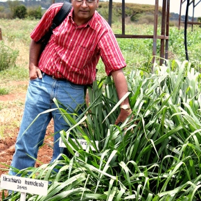 Brachiaria: The 'wonder grass' that could transform African dairy