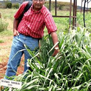 Brachiaria: The 'wonder grass' that could transform Africandairy