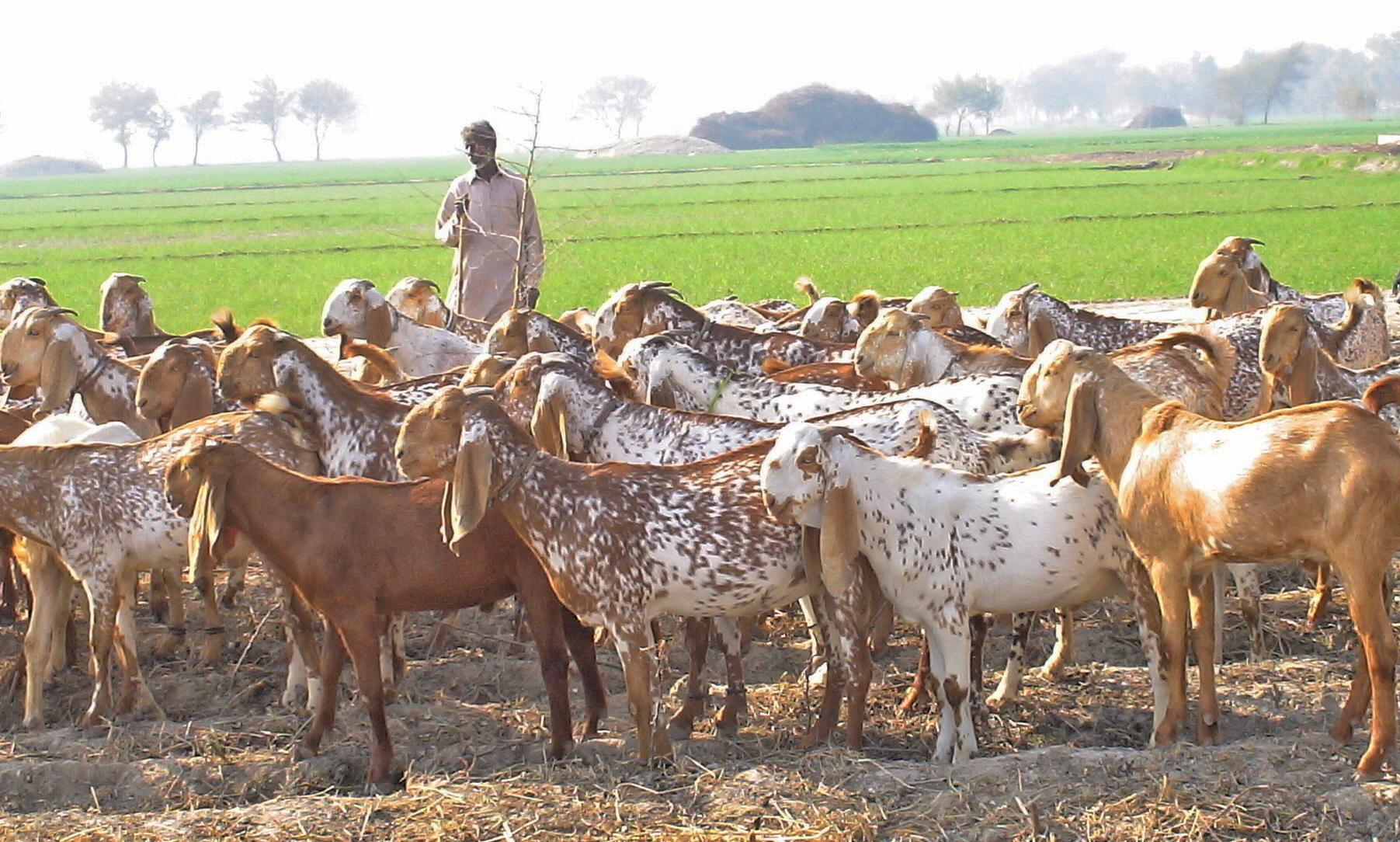 Livestock Are The Future Of Pakistan S Smallholder Farmers Parc Chairman Ilri Clippings
