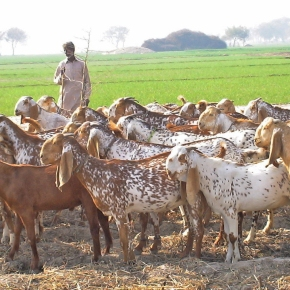 Livestock are 'the future of Pakistan's smallholder farmers'—PARC chairman