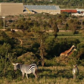 Urban expansion has devastated once-rich wildlife populations in lands south of Nairobi, Kenya