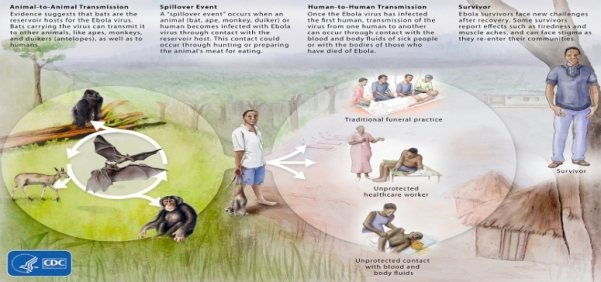 cdc_ebolavirusecology_graphic