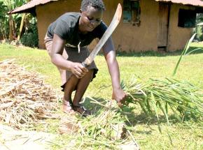 Climate-smart Brachiaria grass helps Kenyan farmers withstand global warmingeffects