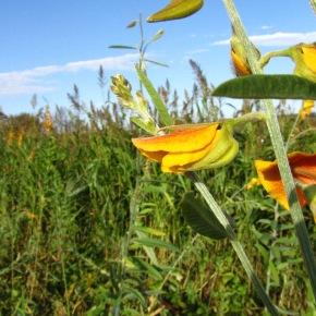 Sunn hemp enhances crop and livestock yields inZimbabwe