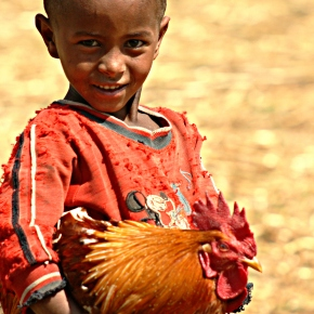 A better backyard chicken for Africa could help save the continent's diminishing wildlife populations
