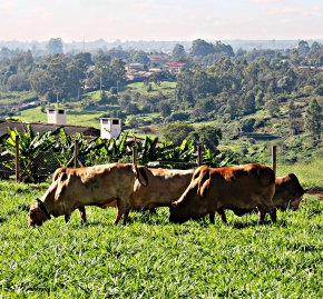 Recent drought-induced livestock losses in East Africa mask deeper problem of animal feed scarcities