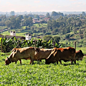 Recent drought-induced livestock losses in East Africa mask deeper problem of animal feedscarcities