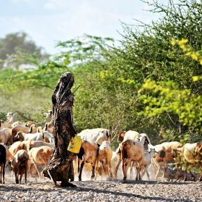 On the heels of the 2011 eradication of cattle plague (rinderpest) is a new 'frieze-dried' vaccine that could eradicate goat plague—The Economist reports from ILRI