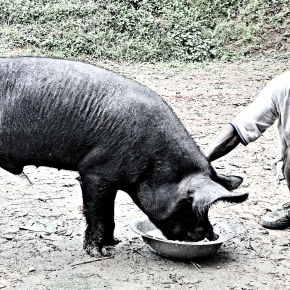 India's Nagaland State launches AI scheme for pigs following the state's landmark pig breeding policy