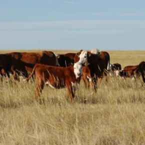 Beef cattle grazing on American rangelands—not feedlots—could be net carbon sink