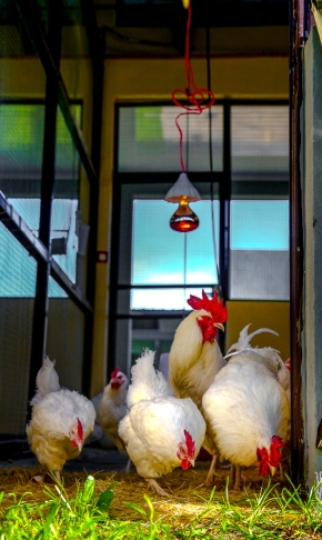 Researchers join artist in quest to create the perfect chicken for Ethiopia's farmers
