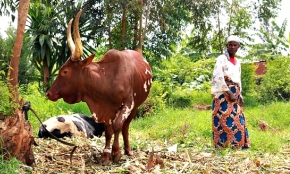 One-size-fits-all 'livestock less' measures will not serve some one billion smallholder livestock farmers andherders