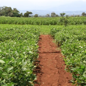 Inoculating legume plants with nitrogen-fixing rhizobia bacteria improves yields in Ethiopia and could save USD28 million annually in fertilizer costs