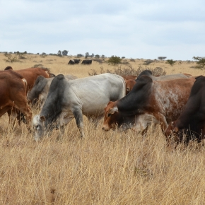 Kenyan livestock sector to grow 'exponentially'—Kenya National Bureau of Statistics