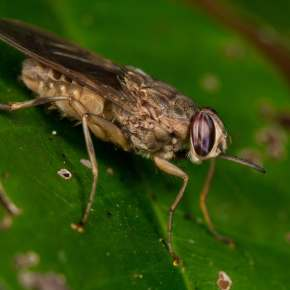 What changes in temperature mean for Africa's tsetse fly
